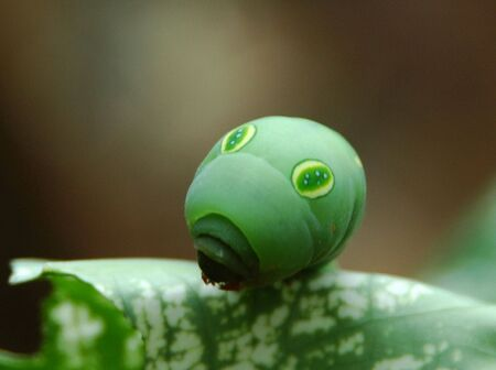 insecta: Ulat Sentadu (Indonesia) Big eyes caterpillar