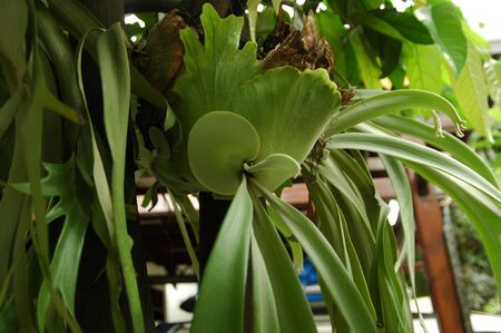 staghorn fern: Staghorn Fern