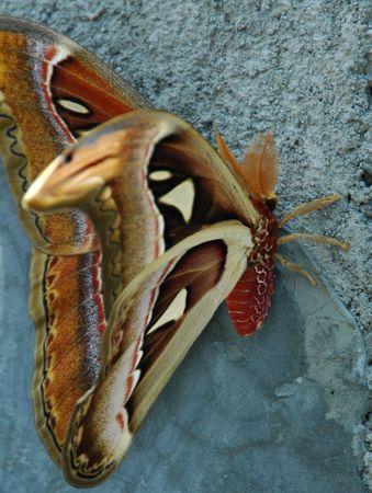 indonesian biodiversity: An Atlas moth or Attacus atlas