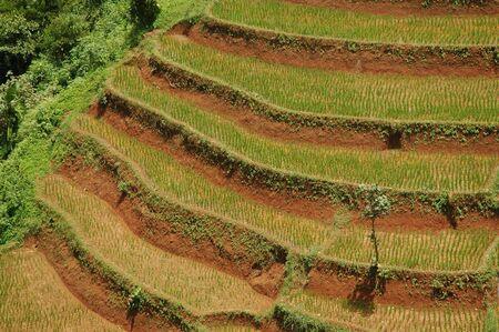 Rice Field (sawah) in Indonesia