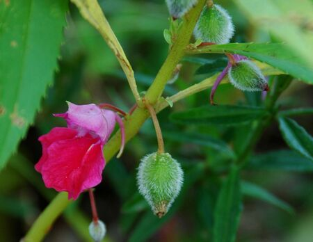 Impatiens balsamina a.k.a Pacar Air (Indonesia)