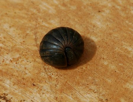vulgare: Armadillidium vulgare partially rolled up