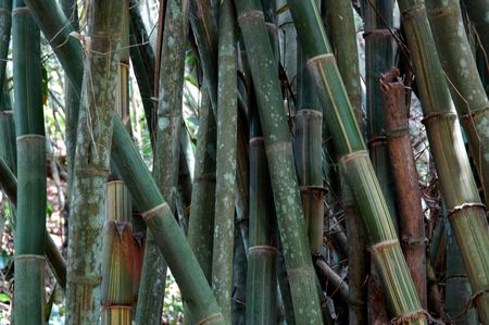 indonesian biodiversity: The Bamboo trunks