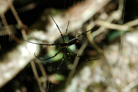 Large spider found in Indonesian Rainforest Stock Photo - 3102951