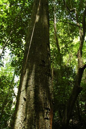 The Artocarpus rigidus Tree found in West Java Forest