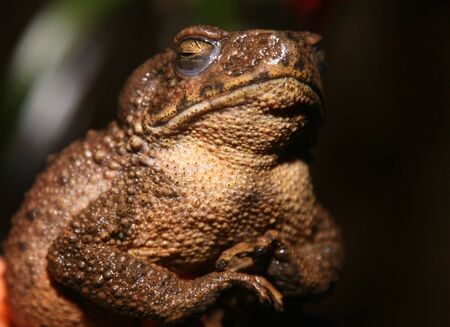 indonesian biodiversity: A Big Frog