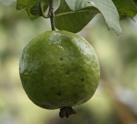 myrtales: Fresh Guava Frui