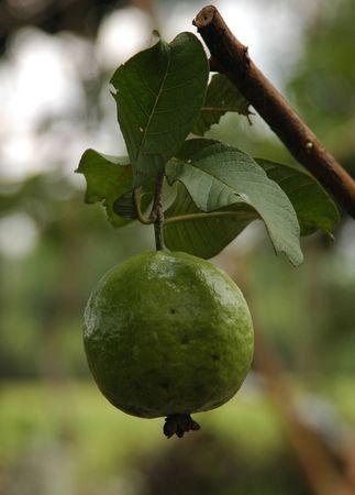 myrtales: Guava