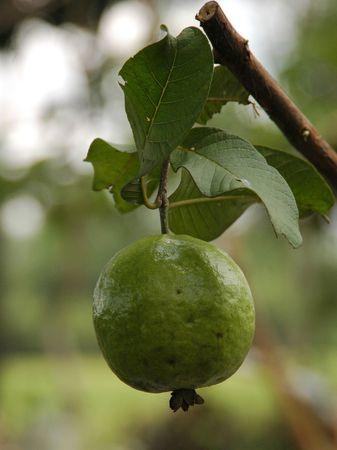 myrtales: Guava Fruit Stock Photo