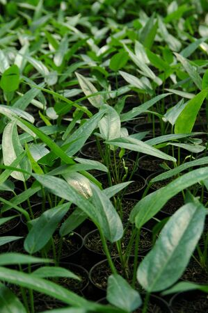 The Anthurium Nursery Stock Photo - 3142515