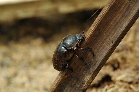 Climbing Dung Beetle Stock Photo - 3144590