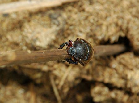 Heliocopris dominus a.k.a Kumbang Tahi (Indonesia) Stock Photo - 3142518