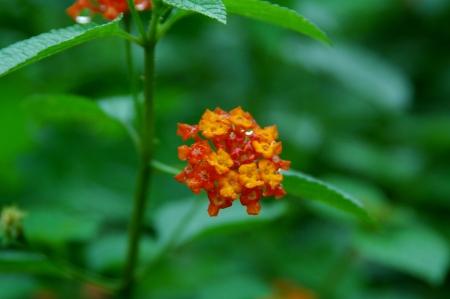 lantana camara: lantana camara flower