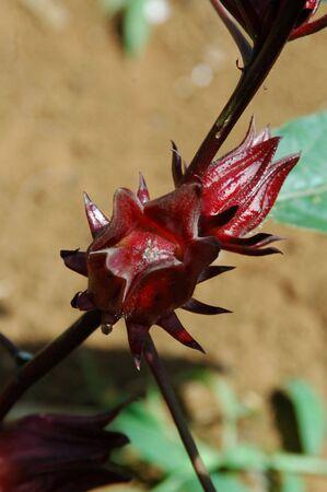 Roselle Fruit Stock Photo