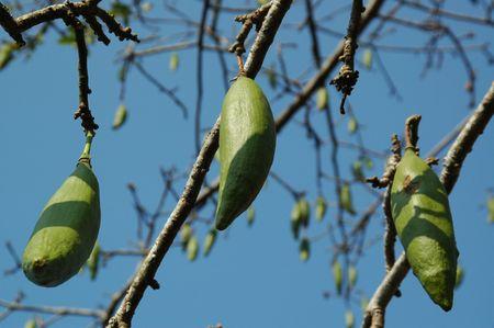Ceiba Pentandra (Java Cotton) Stock Photo