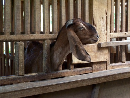 dairy goat on the farm photo