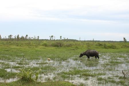 ini: water buffalo ini the sumatra wetland