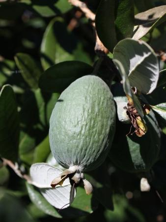 feijoa: Feijoa Fruit