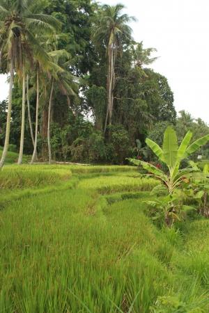 ubud: agroecology landscape in Ubud Bali Stock Photo