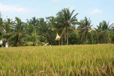 Rice Field in Ubud, Bali, Indonesia