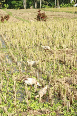 Happy ducks after rice harvesting time photo