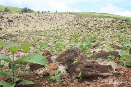 greening: Greening the abandon land with teak wood