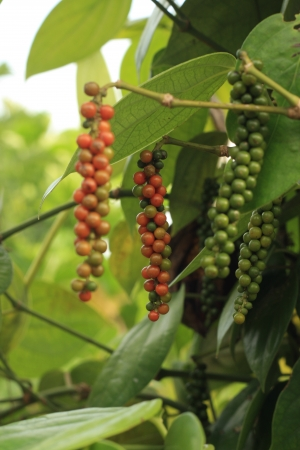 pepper plant and ripe fruit Stock Photo