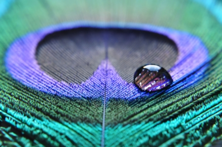 iridescent: closeup of water drop on peacock feather