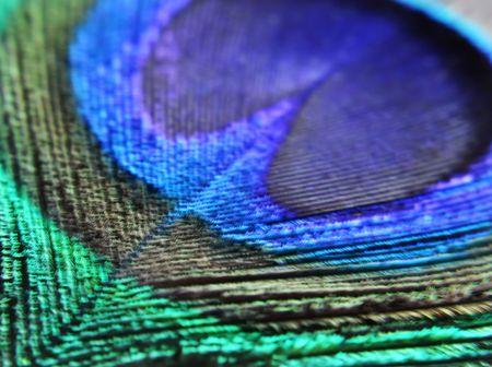 iridescent: closeup of peacocks feather Stock Photo