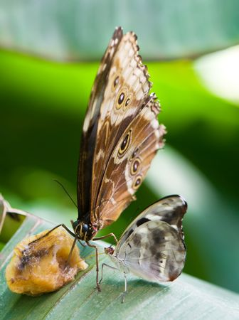 two butterflies eating fruit photo