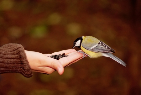 tomtit eating seeds on a hand in the forest photo