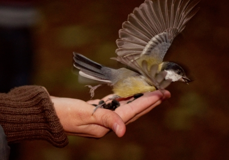tomtit eating seeds and flying off a hand in the forest photo