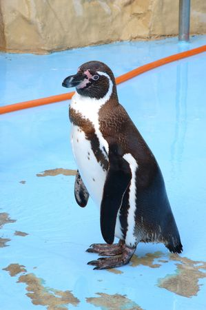 A young beautiful penguin in South Africa photo