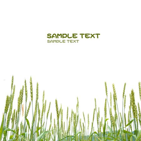 Green panicles of oat Stock Photo - 5728929