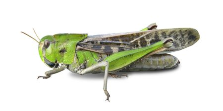Grasshoppers white background