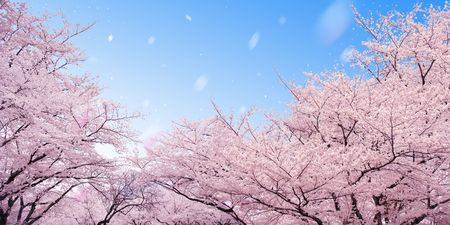 to exist: Row of cherry blossoms- Please look at my portfolio other kinds exist Stock Photo