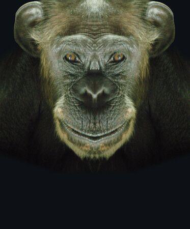 chimpansee: Chimpansee de gezicht - Neem een kijkje op mijn portfolio andersoortige bestaan Stockfoto
