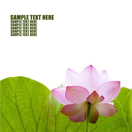Background of lotus - Please look at my portfolio other kinds exist photo