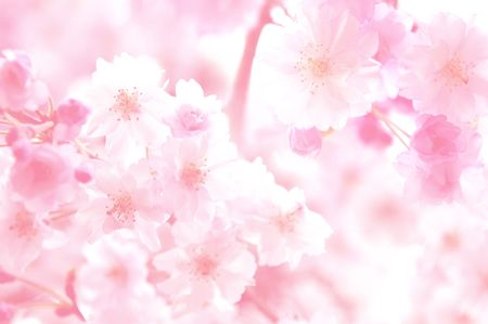 CG background of cherry blossoms Stock Photo