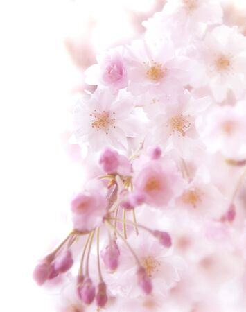 CG background of cherry blossoms photo