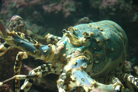 Lobster or crayfish peeping around a rock Stock Photo - 7046770