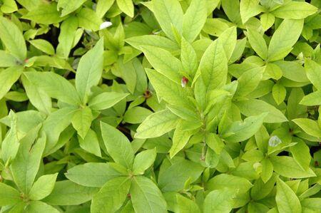 young leaf: Imagen de textura de hoja joven