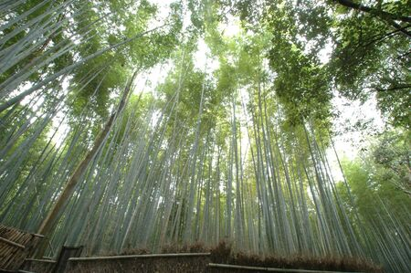 tourist spot: Bamboo forest of tourist spot of Kyoto Stock Photo