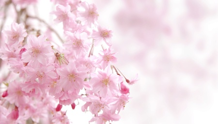 synthesis: CG synthesis background of cherry blossoms