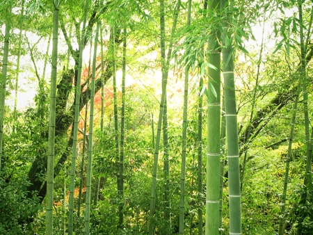Scenery of bamboo forest