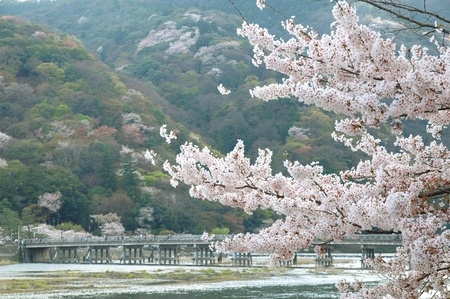 Scenery of cherry blossoms Stock Photo - 8846197