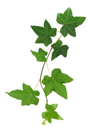 Ivy Imagens