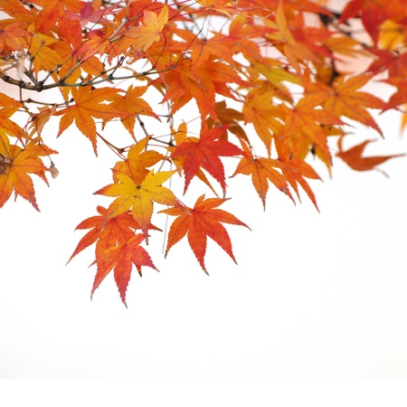 red maples: Autumn tint