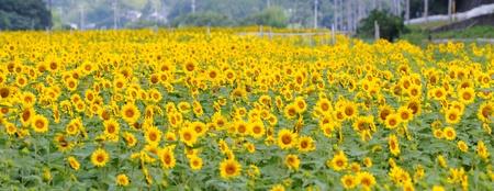 Sunflower - Panorama shot photo