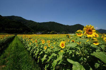 Sunflower a farm photo